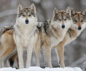 В деревне Котласского района обосновались волки-мародеры