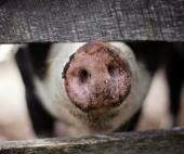 Пожар на окраине Плесецка уничтожил 11 голов свиней
