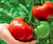 В Архангельске уничтожили почти полтонны санкционных томатов и слив