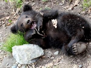 Голодный медведь залез в архангельскую колонию в поисках съестного