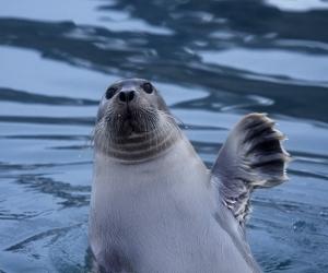 О чем поют морские зайцы?