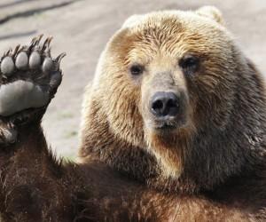 В Северодвинске медведь, не впавший в спячку, повредил могилы