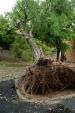 В  Архангельске ураган свалил деревья