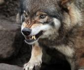 Под Северодвинском волк пугает жителей своим оскалом