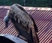 Жительница Архангельска обнаружила на даче грифа