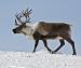 Жителя Архангельской области обвиняют в краже северных оленей