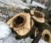 Старые деревья спилят в центре Архангельска