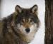 Лесные хищники обосновались на окраине Архангельска